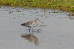 Spotted Redshank (Tringa erythropus)